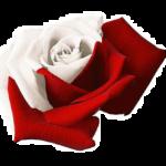 1479982619_roza bialo czerwona
